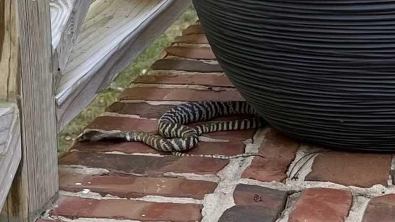 zebra cobra