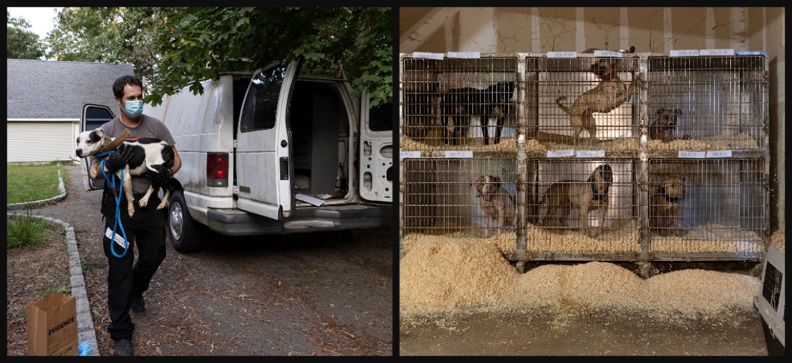 Injured dogs in cages